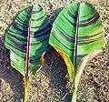 ★★ Red Tiger Banane ★★ 10 Samen -musa sikkimensis var. Red Tiger- von Samenchilishop bei Du und dein Garten
