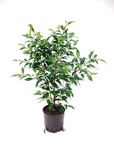Birkenfeige, Ficus benjamini Natasja, Zimmerpflanze in Hydrokultur, 13/12er Kulturtopf, 30 - 40 cm