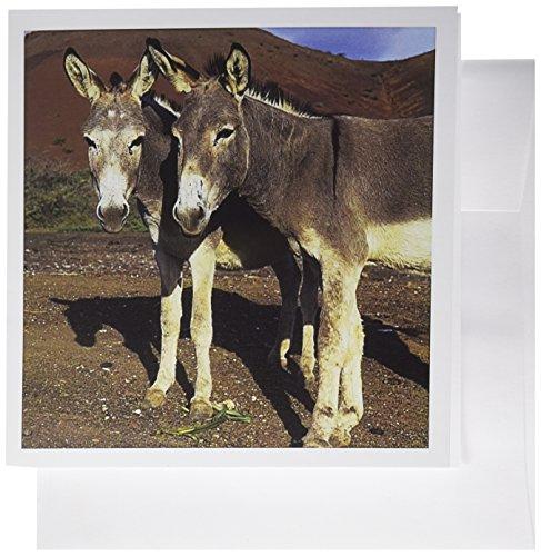 3dRose Gc_85196_1 Grußkarten, Motiv Ascension Island, Esel Wildlife - OC20 KSC0007 - Kevin Schafer, 15,2 x 15,2 cm, 6 Stück (Ascension-karten)