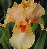 Schwertlilie Morgenröte - Iris barbata