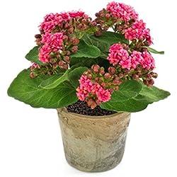 artplants Künstliche Kalanchoe FAJRA mit Blüten, rosa, 22 cm - Deko Blume/Kunst Pflanze