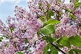 Chinesischer Blauglockenbaum Paulownia tomentosa 200 Samen