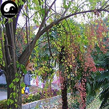ASTONISH Erstauner SEEDS: Kaufen Baumsamen 100pcs Pflanze Seide Baumwolle Du Baum