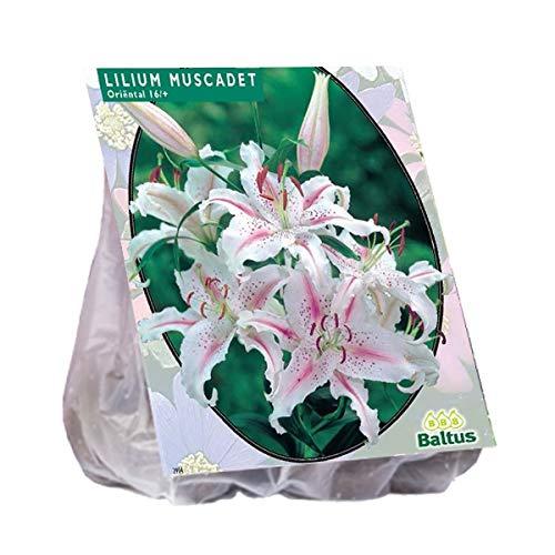 Baltus Lilium Oriental Muscadet 3 Blumenzwiebeln für Frühling, Mehrfarbig, Einheitsgröße