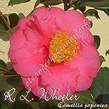 Kamelie 'R. L. Wheeler' - Camellia japonica, Grupo de precio:6