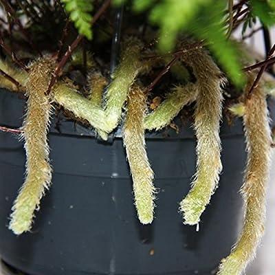 Tarantel-Farn, Vogelspinnen-Farn, Spinnenfarn, Humata tyermannii, Davallia, Zimmerpflanze, 14cm Ampel-Topf zum Hängen von exotenherz.de - Du und dein Garten