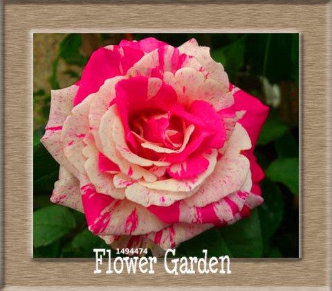 Pots de fleurs Big jardinières, 20 types, 50 PCS / Lot, rose graines arc-en-Belle rose graines bonsaïs graines, # 6 B4LT8H