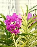 Vivai Le Georgiche Orchidea Ascda Princess Mikasa Pink (Vanda Rosa)