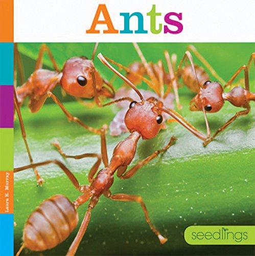 Ants (Seedlings)