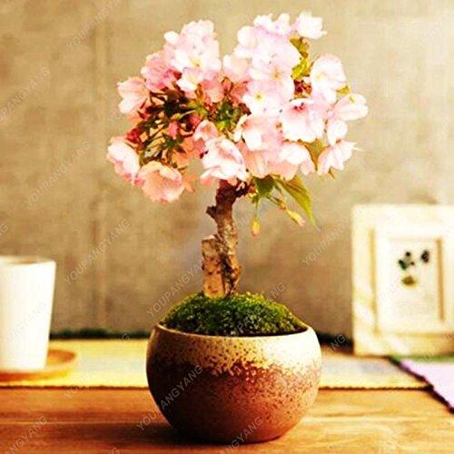 10 pcs mini Bonsaï japonais Sakura, Graines Bonsai Fleur de cerisier Accueil Graden Décoration Livraison gratuite Violet