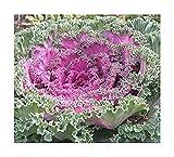 Zierkohl Chidori Red - Kohl - 5 Samen