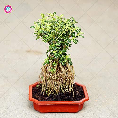 Pinkdose 200 Teile/beutel Serissa Bonsai Pflanze Topf Bäume Mehrjährige Hausgarten Dekoration Pflanzen