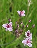4er-Set im Gratis-Pflanzkorb - Butomus umbellatus - Blumenbinse - Schwanenblume - Wasserliersch, rosa - Wasserpflanzen Wolff