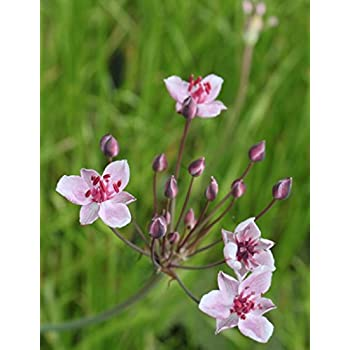 Schilf Wasserpflanzen Wolff Phragmites australis Variegatus gr/ün-wei/ß-gelb gestreift 4er-Set im Gratis-Pflanzkorb