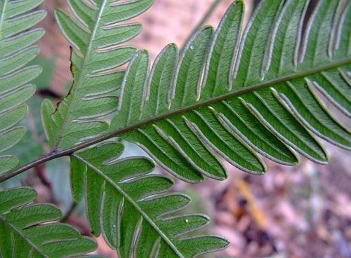 Pteris biaurita - Farn - 100 Samen