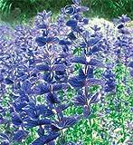 Portal Cool Fd1543 1 confezione 50 semi pastorali blu salvia semi di Salvia Farinacea Garden Flower?