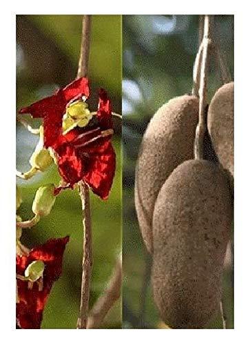 TROPICA - Arbre à saucisses (Kigelia pinnata/africana) - 10 graines- Afrique