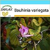 SAFLAX - Geschenk Set - Orchideen-Baum - 8 Samen - Bauhinia variegata