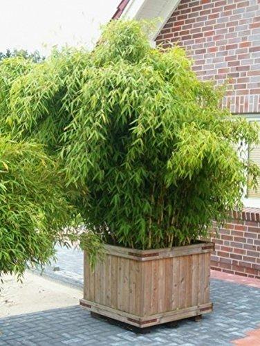 Baumschule Pflanzenvielfalt Fargesia murielae Hobbiebrunkens Favorit Gartenbambus - 40-60 cm