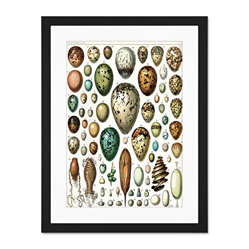 Millot Various Bird Eggs Large Art Print Poster Wall Decor 18x24 inch Supplied Ready to Hang with Included Mount Brackets Vogel Große Kunst Wand Deko