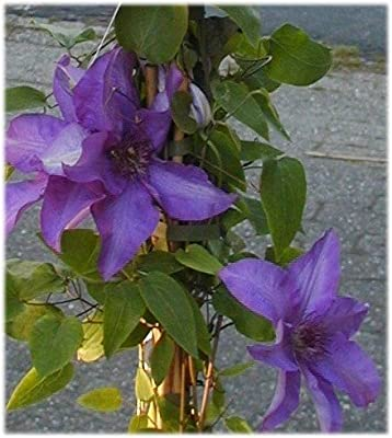 Waldrebe Clematis The President 80 cm hoch im 3 Liter Pflanzcontainer von Plantenwelt Wiesmoor auf Du und dein Garten
