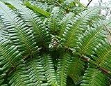 100x Gleichenia japonica Samen Farn Pflanze Garten Haus Neu B1582