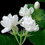 10 semi / pacchetto semi gelsomino piante da semi di fiori perenni