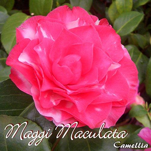 kamelie-maggi-maculata-camellia-grupo-de-precio4