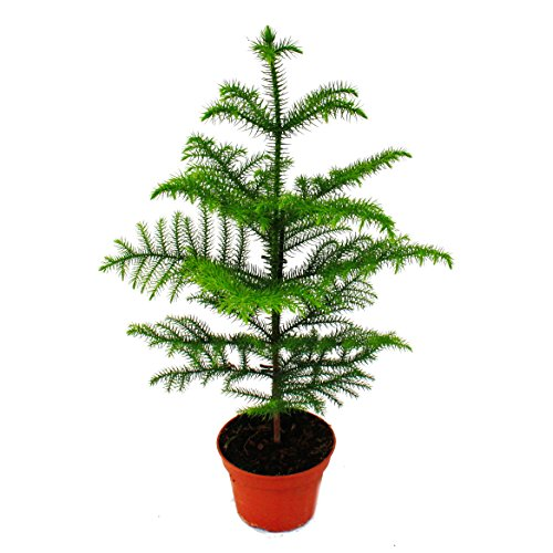 Zimmertanne - Araucaria heterophylla - 15cm Topf - ca. 40-50cm hoch
