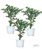3x F1-Tomatenpflanzen Sorte Pannovy F1