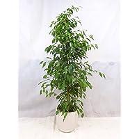 """Ficus benjamini """"Exotica"""" 150/160 cm / Zimmerpflanze"""
