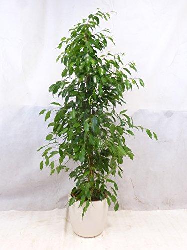 """Ficus benjamini \""""Exotica\"""" 150/160 cm / Zimmerpflanze"""