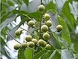 Asklepios-seeds® - 10 Samen Sapindus detergens (Syn. mukorossi), Waschnuss-Baum, Seifennussbaum