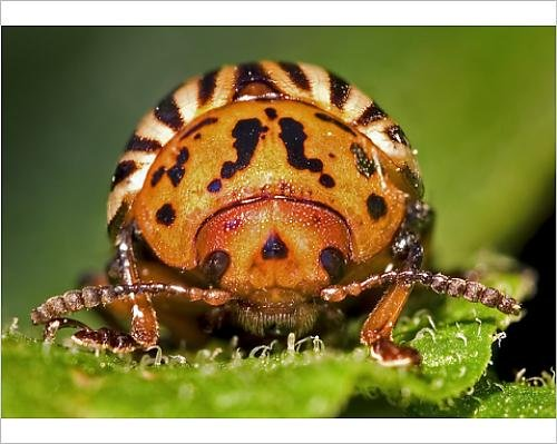 photographic-print-of-agriculture-front-end-view-looking-at-the-head-of-a-colorado-potato-beetle