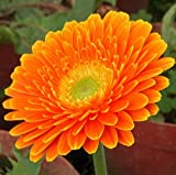 futabaâ ® Gerbera Mehrjährige Kräuter Pflanze Farbe mischen 100Samen