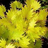 Portal Cool Acer Japonicum shirasawanum Aureum, Japanischer Ahorn