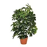 Catral Planta artificial cheflera 65 cm altura, 74010004