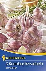 Knoblauchzwiebeln Germidour weiß-violett
