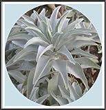 475 mg California White Sage 200+ Samen ~ heilige Weißer Salbei Ceremonial Aromatic