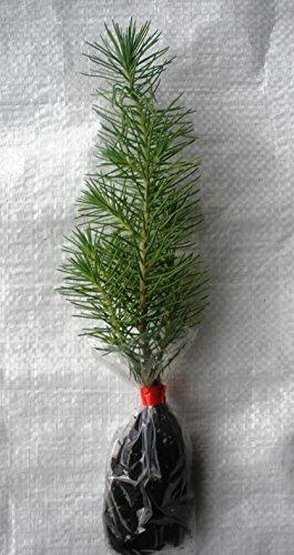 italian-stone-pine-umbrella-pine-parasol-pine-pinus-pinea-tree-15-25-cm-plug-plants-1
