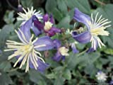 Clematis Aromatica fragrant summer flowering herbaceous clematis grown in 1 litre pot on tripod of 60cm canes.