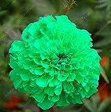 100 PCS / BAG semillas aster aster flor bonsai semillas de flores de crisantemo del arco iris semillas planta perenne de flores a domicilio jardín claras