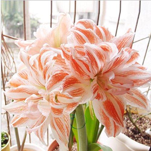 100pcs/bag vrai Amaryllis Graines bulbes Pas Bonsai Graines de fleurs, graines Hippeastrum maison et jardin Barbade Lily Flower Pot Seeds 13