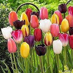Tulpenzwiebeln Cottage Mischung Mehrfarbig - Blumenzwiebeln, mehrjährig & robust- Späte Tulpe Cottage Mischung - 17 Tulpen-Zwiebeln von Garten Schlüter - Pflanzen in Top Qualität