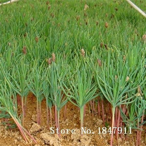 Nuove perenni semi di albero sempreverde Grande vendita di pino giapponese semi di albero bonsai foglia di agrifoglio pinoli 100 PCS / bag verde oliva