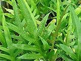 Phymatodes scolopendria - Tausendfüssler-Farn - 100 Samen