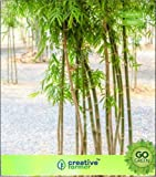 Pinkdose Birth Star Baumsamen: Bambus