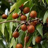 Saponaria ocymoides - Erba e sapone roccioso - Spg - Semi