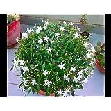 OjOrey Jasmine Natural live Mogra Plant With Pot Indoor Flower Plant