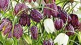 Portal Cool 50 Mixed Fritillaria Meleagris Birnen-Snakes Lily-Perennial Bulbs Frühling